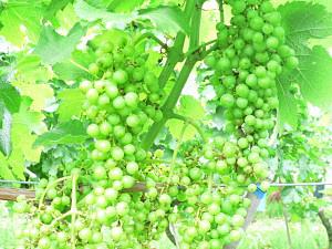 日本特有の気候風土が育んだ、日本ワインのためのブドウ〈長野県上田市のメルシャン椀子(マリコ)ヴィンヤード〉