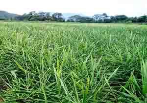 種ショウガが高値だったため作付面積が4割減少したタイのショウガ圃場(ほじょう)