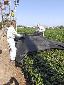 白葉茶の被覆方法の紹介