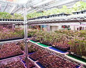 マル井が取り組むわさび苗の工業型栽培