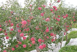 豊作のリンゴだが、高齢化・園地減少も進む