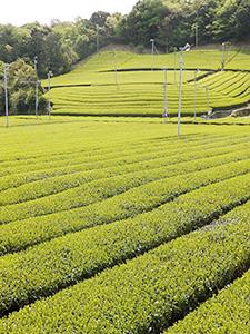 静岡県袋井市の茶園