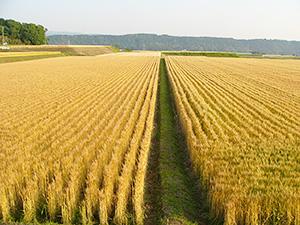 麦秋の季節を迎えた筑後平野