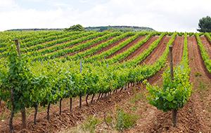 日本では醸造用のブドウが足りていない