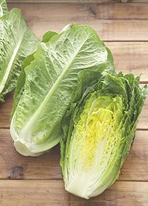 ロメインレタス「ロマリア」。高齢化で白菜やキャベツなど重量野菜からの切り替えも推奨