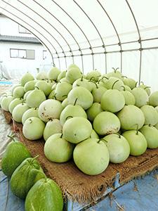 干瓢は通年生産が可能な作物と違い加工時期が2ヵ月と限られ、生産拡大のネックとなっている