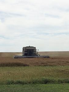 カナダのマスタードシード収穫の様子