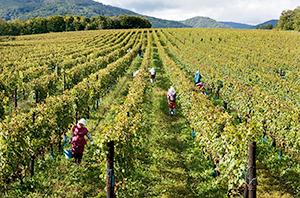 広大なブドウ畑での収穫~北海道ワインの直轄農場「鶴沼ワイナリー」=北海道ワイン提供