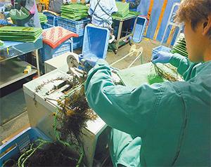 ヒジキ種苗の挟み込み作業