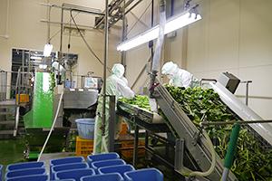 「GREENS」に使うサラダホウレンソウの選別作業。製造には多くのノウハウ、手間が詰め込まれている