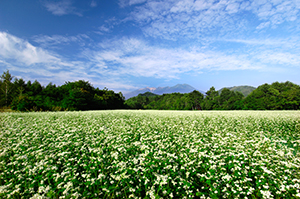 長野県木曽町開田高原のそば畑