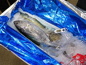 シャーベットアイスで0度Cをキープし、平戸魚市からの高鮮度流通を実現している