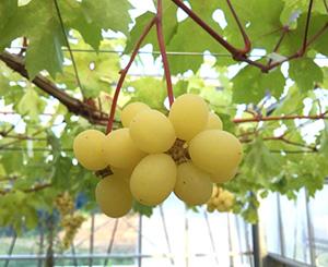 新品種のブドウ