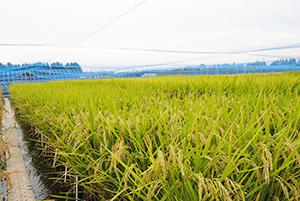 収量性向上を目指したゲノム編集イネ系統の野外栽培(つくば市・農研機構)