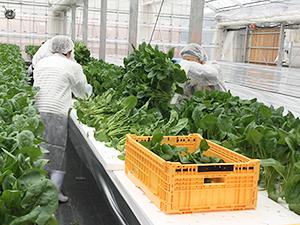 施設内での収穫作業(従事者は食品工場と同様に白衣、キャップ、マスクを着用)