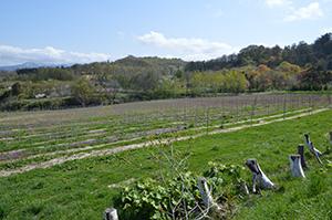 ブドウ栽培を始めた「サントネージュ・ニッカ・余市ヴィンヤード」。今後、約1万本を植樹していく