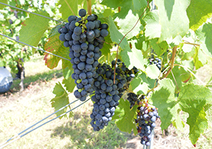 国産ブドウの栽培技術が向上することで上質な日本ワインができる