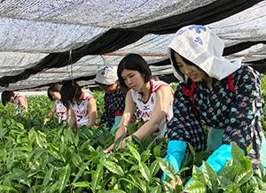 稲荷山茶園公園(愛知県西尾市)で、茶摘みに挑戦する選手ら