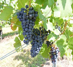 実を結ぶワイン用ブドウ