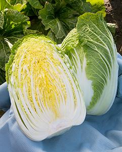 品質良好で耐病性にも優れる白菜「ほまれの極み」