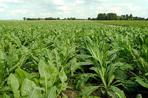 イヌリンの原料となるチコリ畑