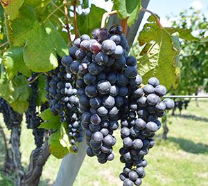 日本ワインの原料となるワイン用ブドウ