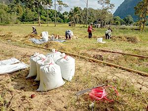 そばの収穫=18年12月、タイ・チェンライで。提供写真