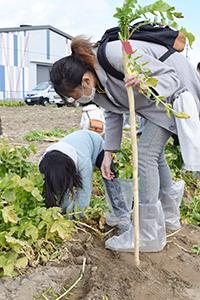 守口大根を収穫する参加者親子
