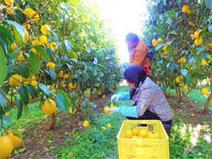 新松戸レモンの収穫