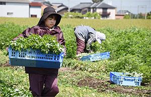 自社農園「たねや永源寺農園」で、ヨモギの無農薬栽培を行う