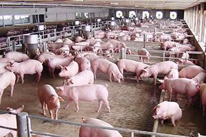 財閥大手CPグループのタイ国内にある養豚場。中国やベトナムからの感染が広がらないよう、予防に力を入れている=提供写真