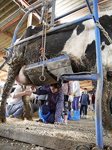 谷牧場での乳搾り体験